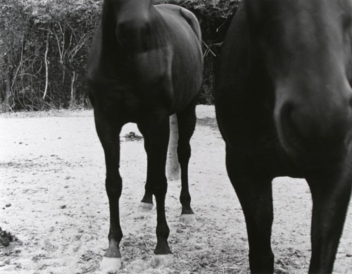 The twins - horses